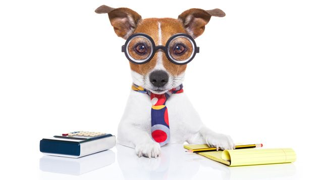 Jack Russell terrier accountant
