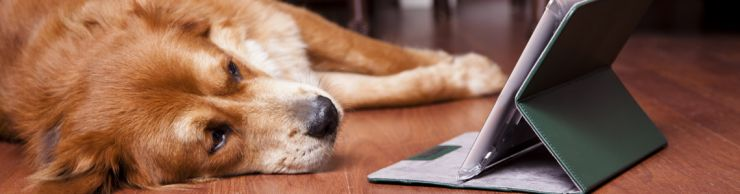 Picture of Golden Retreiver looking at tablet computer