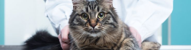 Maine Coon cat with bug eyes
